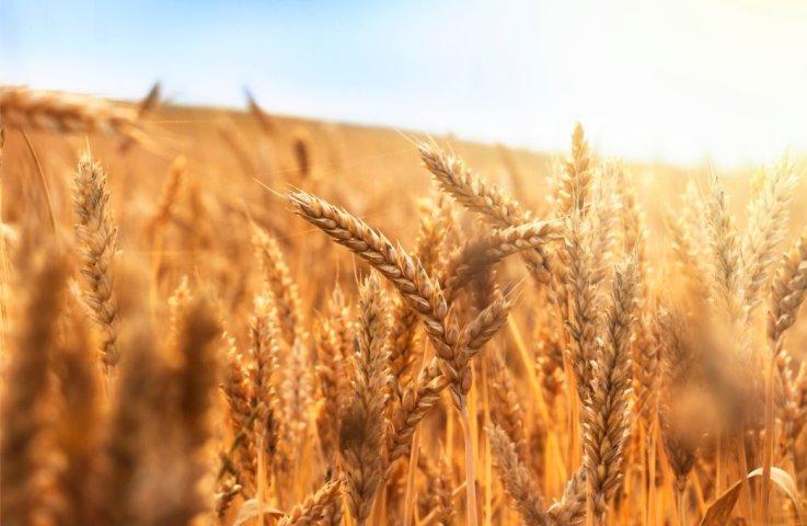 Et gen i korn er indre våben mod svampangreb og kan betyde mindre brug af sprøjtemidler : Science Report